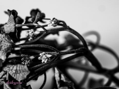 hydrangea_pink_decay-1
