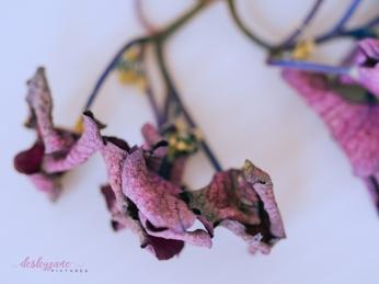 hydrangea_pink_decay-12