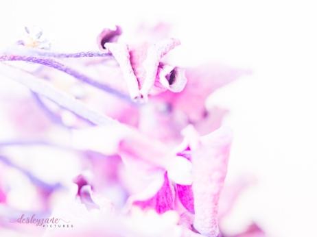 hydrangea_pink_decay-14