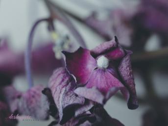 hydrangea_pink_decay-17