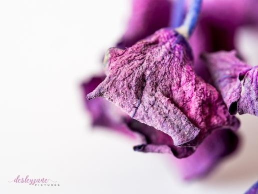 hydrangea_pink_decay-20