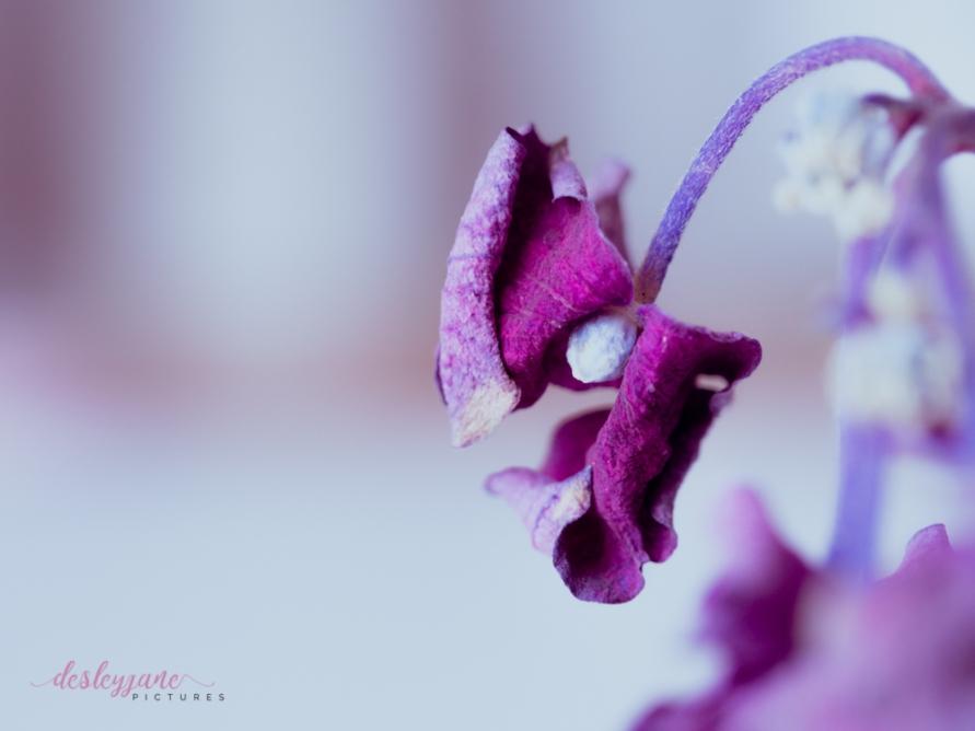 hydrangea_pink_decay-23
