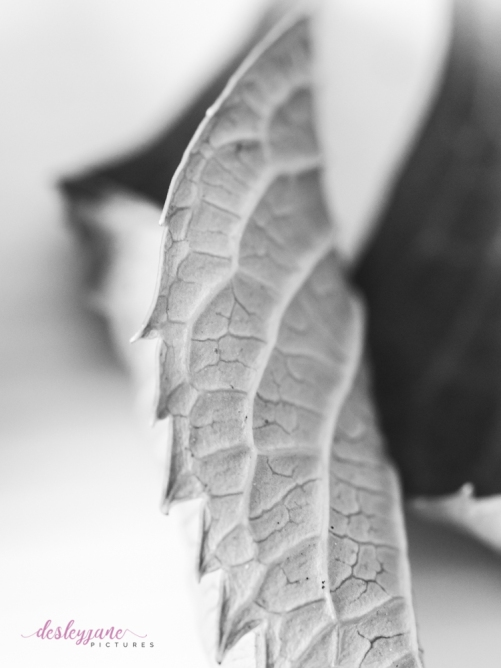 hydrangea_pink_decay-24