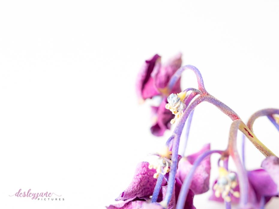 hydrangea_pink_decay-26