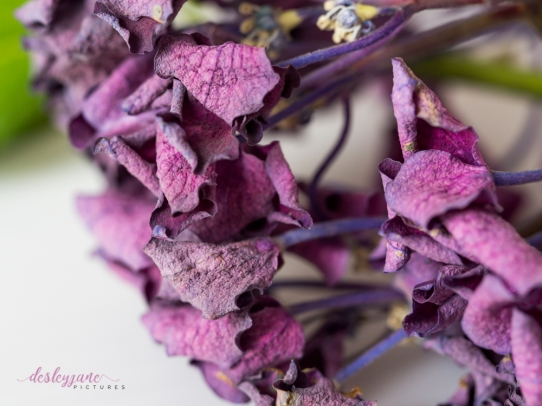 hydrangea_pink_decay-3