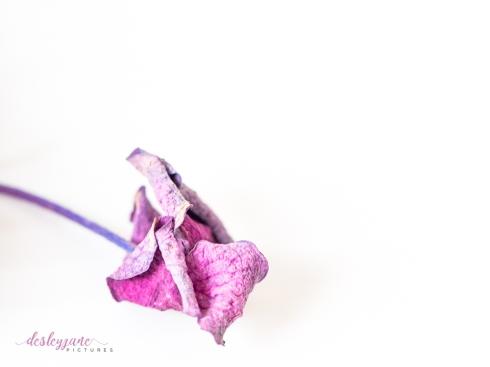 hydrangea_pink_decay-4