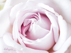 lavender roses-10