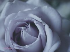 lavender roses-11