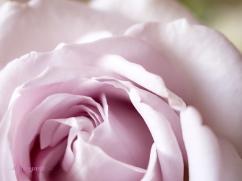 lavender roses-12