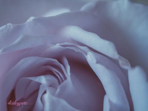 lavender roses-13