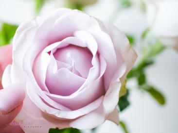 lavender roses-15