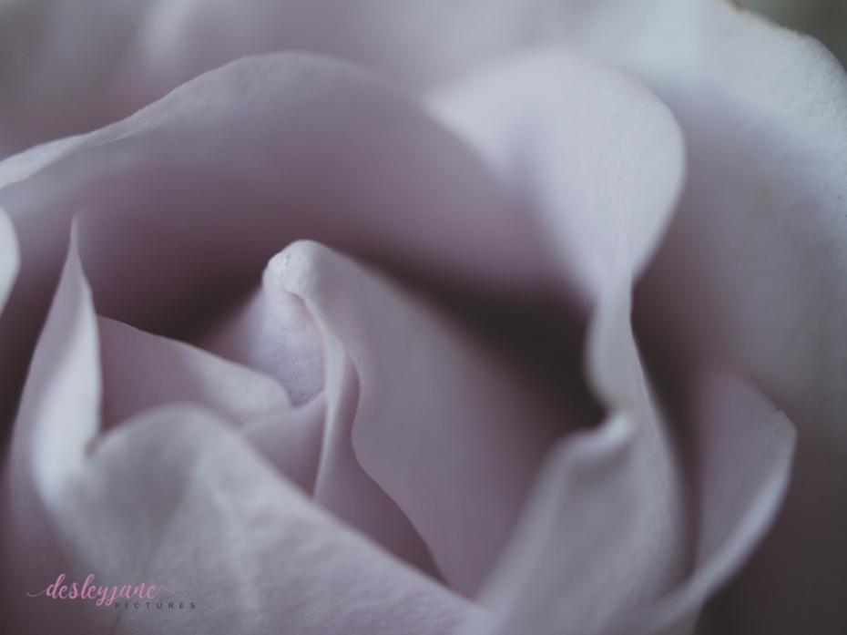 lavender roses-16