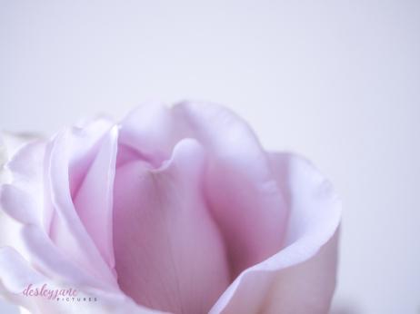 lavender roses-17