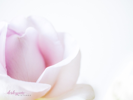 lavender roses-18