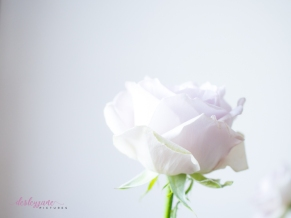lavender roses-20