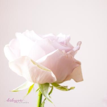 lavender roses-21