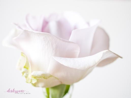 lavender roses-23