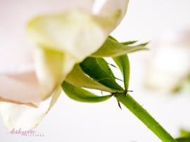 lavender roses-24