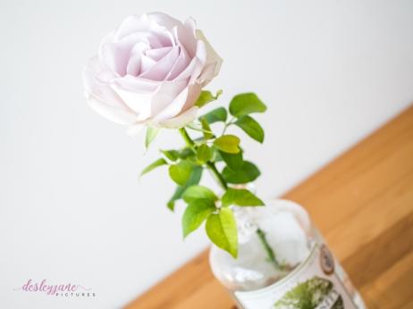 lavender roses-27