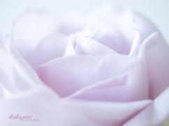 lavender roses-28