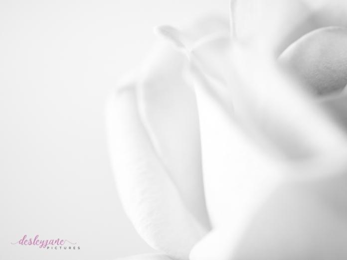 lavender roses-29