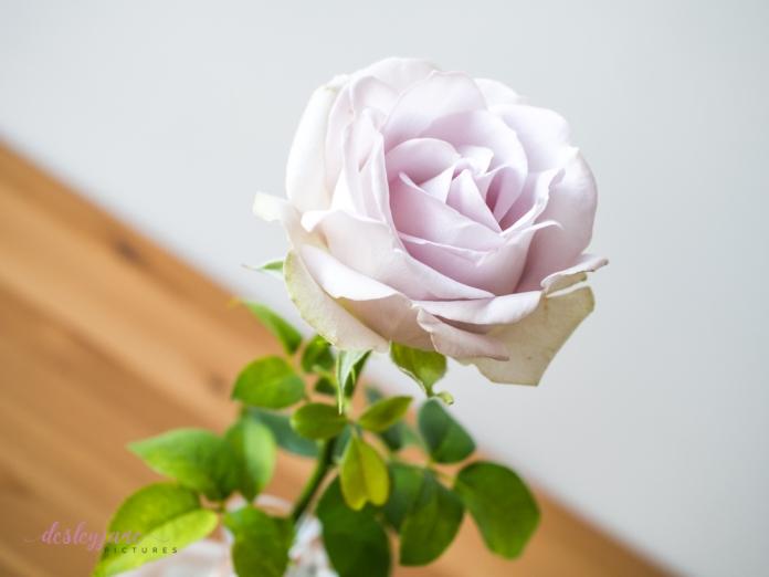 lavender roses-30