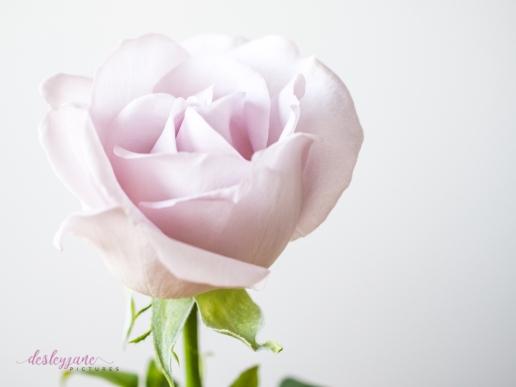 lavender roses-32