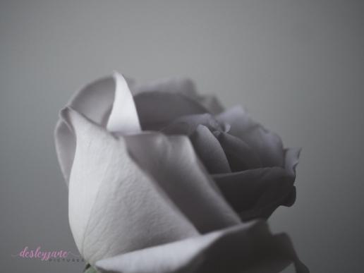 lavender roses-33