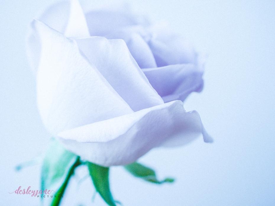 lavender roses-35
