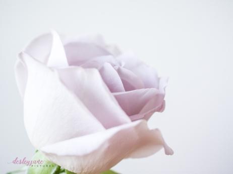 lavender roses-36