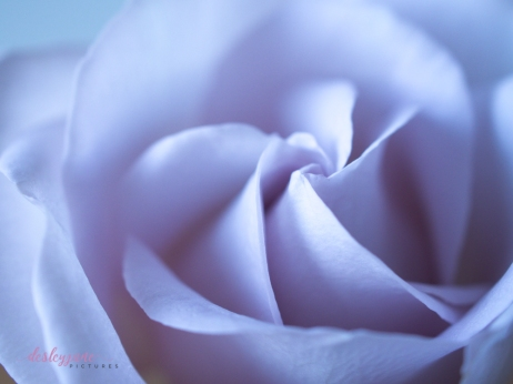 lavender roses-37