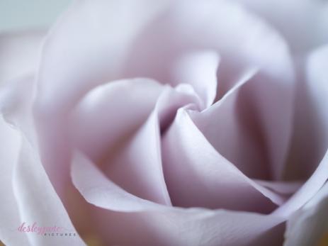 lavender roses-38