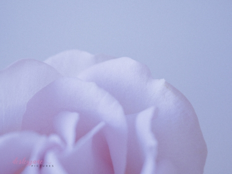 lavender roses-39