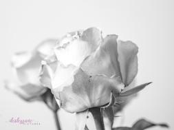 lavender roses-4