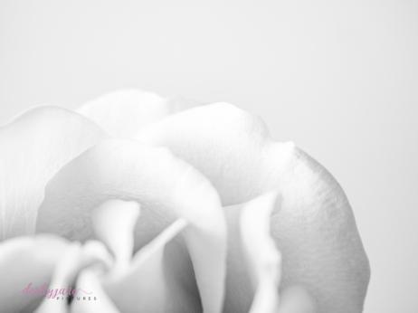 lavender roses-40
