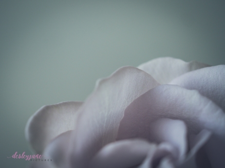 lavender roses-41