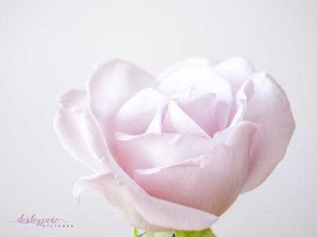 lavender roses-42