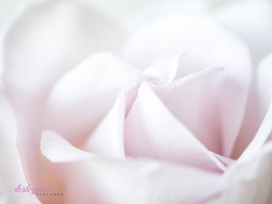 lavender roses-43