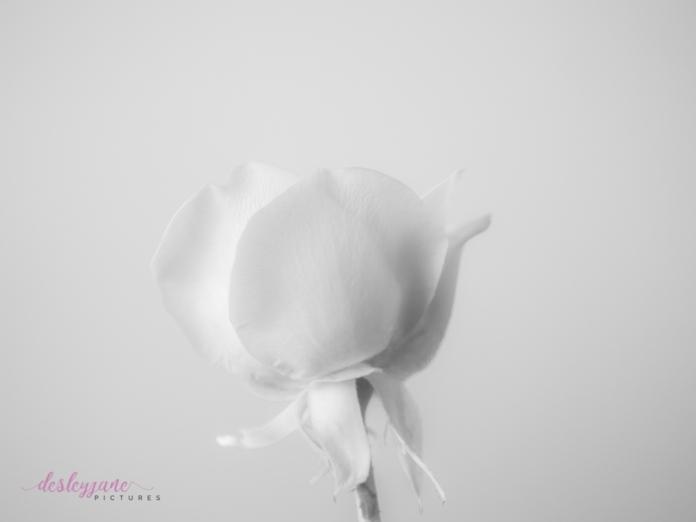 lavender roses-44