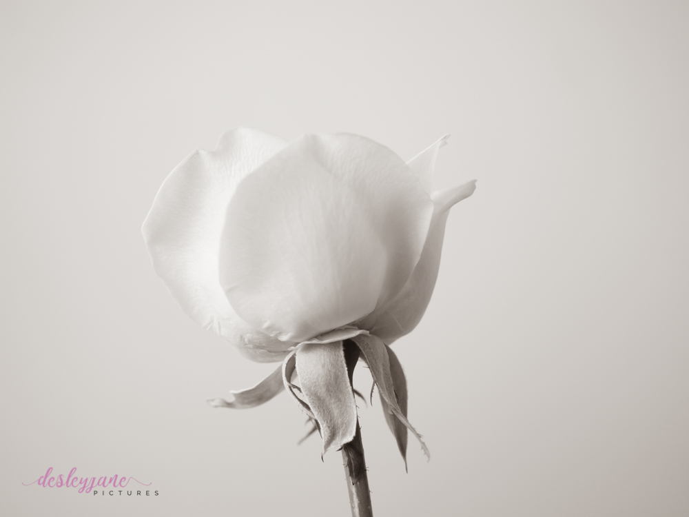 Soft & Dreamy – Lavender Roses