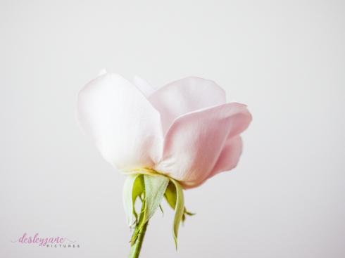 lavender roses-46