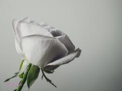 lavender roses-47