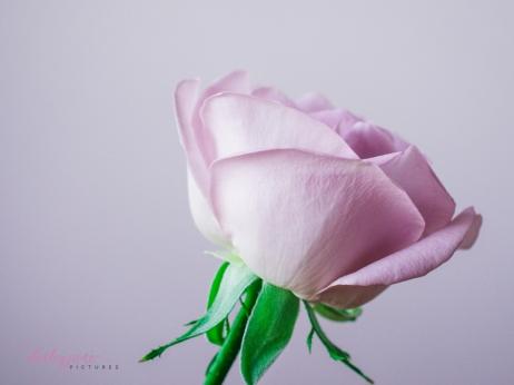 lavender roses-48