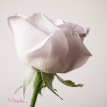 lavender roses-49