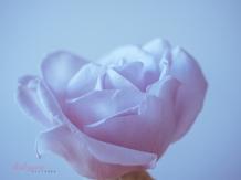 lavender roses-50