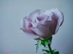 lavender roses-52
