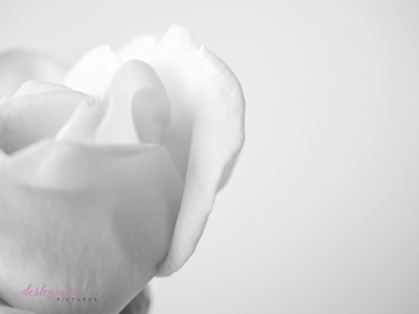 lavender roses-53