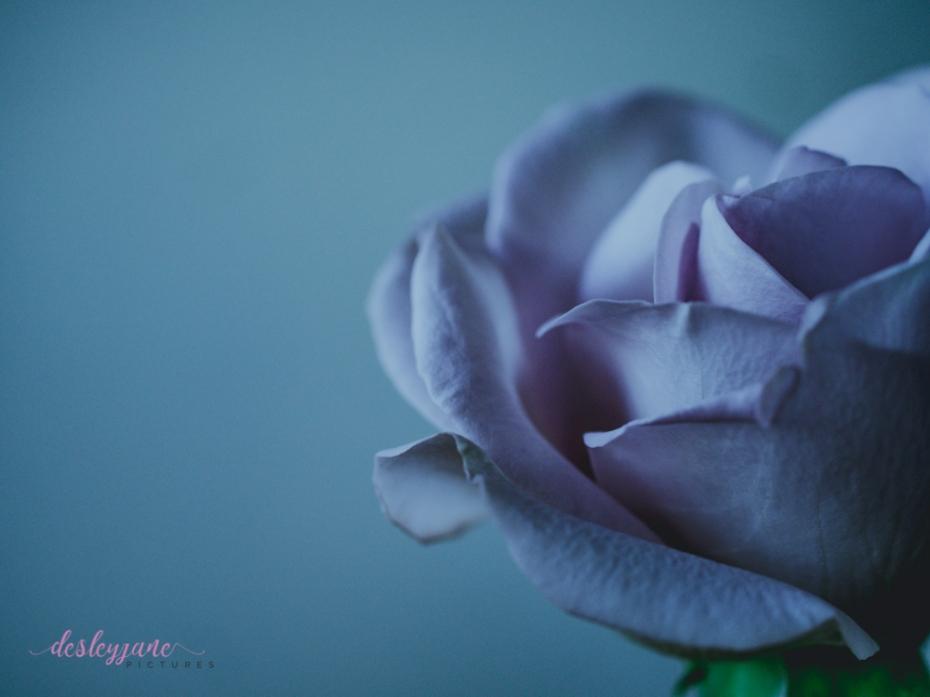 lavender roses-54