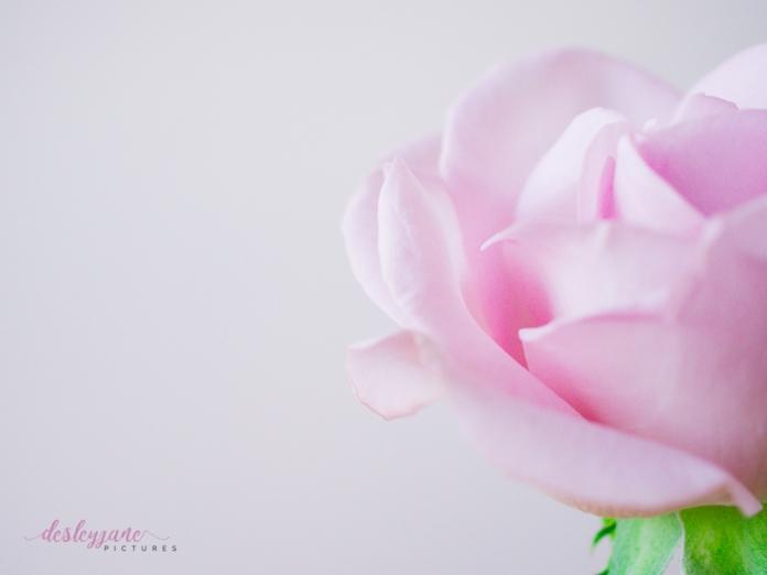 lavender roses-55