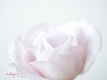 lavender roses-56